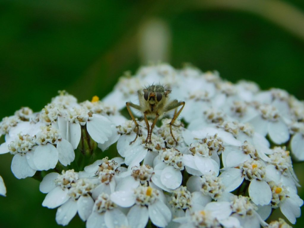 Achillea with Insect Macro