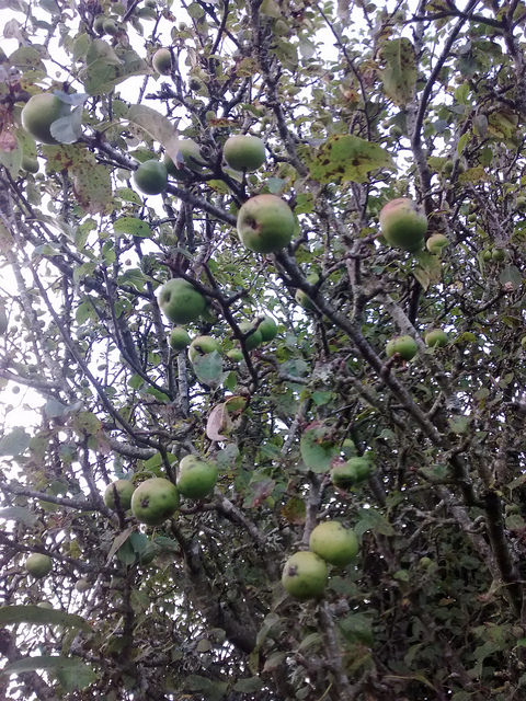 Crabapples On the Tree