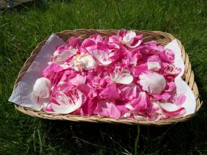 Rose Petals, ready to dry