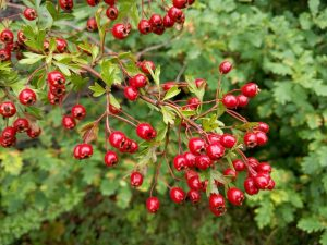 Hedgerows set aflame with harvest's bounties