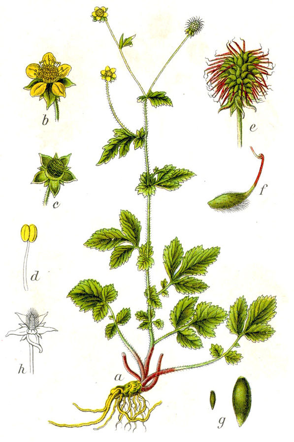 Geum urbanum illustration
